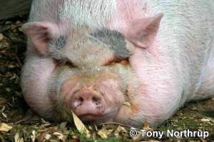 huge-pig